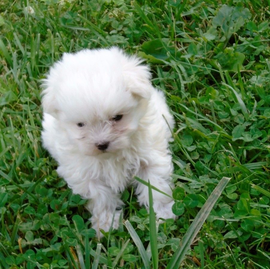 Puppies For Sale Maltese Maltese F Category In Free Union