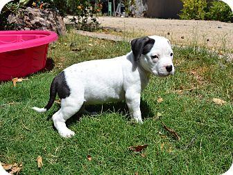 Chandler Az American Staffordshire Terrier Boxer Mix Meet