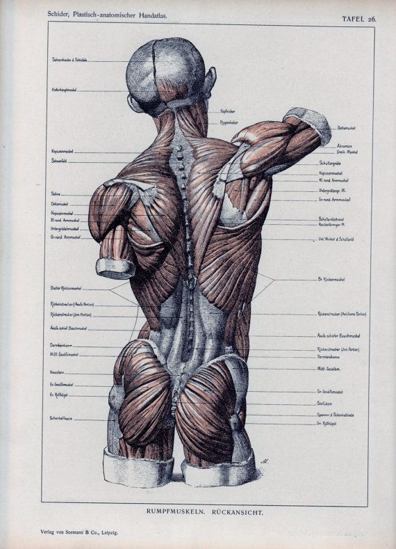 authentic 1898 anatomy book page muscles bones vtg anatomical, Muscles