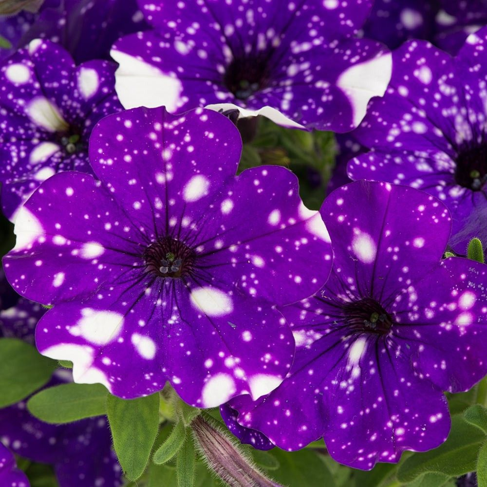 Deep Blue Petunia With Unique White Speckles Description From