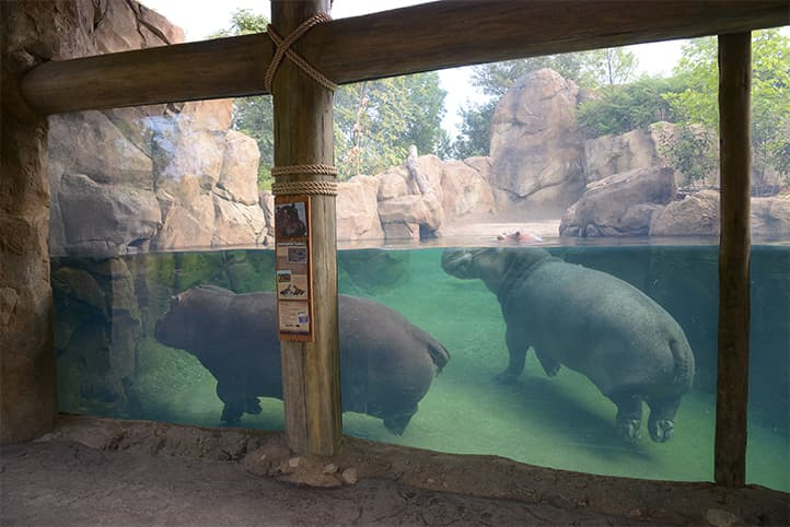 Planet Zoo Hippos Underwater Viewing Exhibits And How Fish Play A