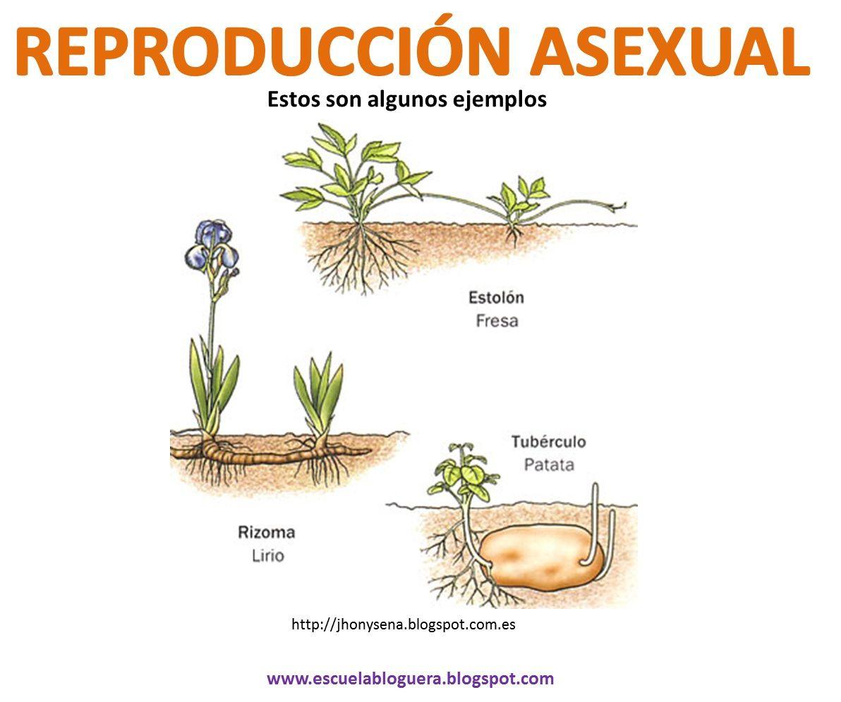 Tipos de reproduccion asexual en plantas ejemplos de cartas