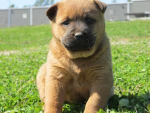 Flori Is An Adoptable Chow Chow Dog In Flemington Nj Flori Is A Sweet 6 Week Old Puppy Who Looks To Be Part Chow She Is Fro Chow Chow Dogs New