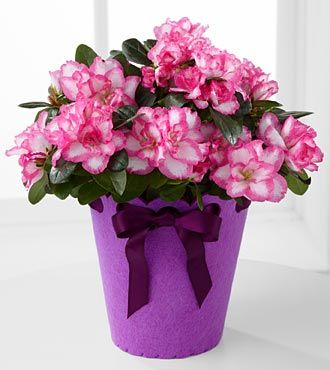 Flowering Fun Birthday Azalea Plant Plant Gifts Flower Delivery Same Day Flower Delivery