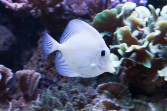 Pix for rare tang fish fish pinterest fish for Rare aquarium fish