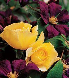 Garnet and gold combination white flower farm clematis clematis white flower farm mightylinksfo