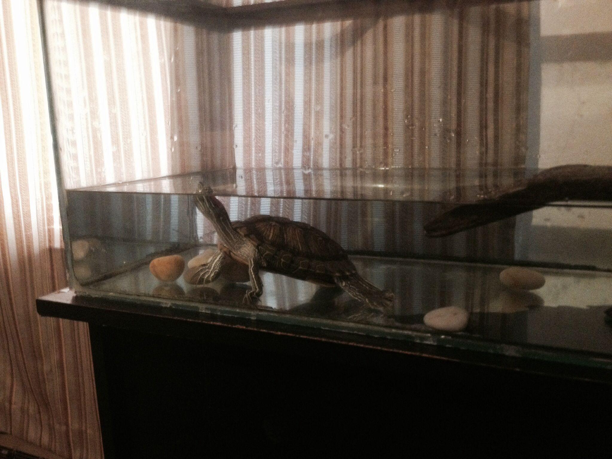 My turtles biggie and smallz i turtles pinterest turtle