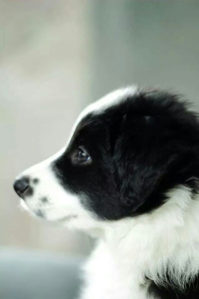 Border Collie Pup I D Love If He Had Freckles On His Nose Just Like His Brother Barkley Collie Puppies Collie Dogs