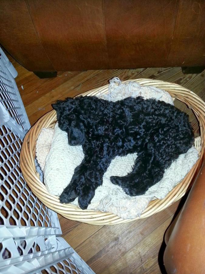 Female Standard Poodle Akc Puppy 12 Weeks Old Blue Color Light Black In Jacksonville Florida Hoobly Classifieds Poodle Puppies Big Beautiful
