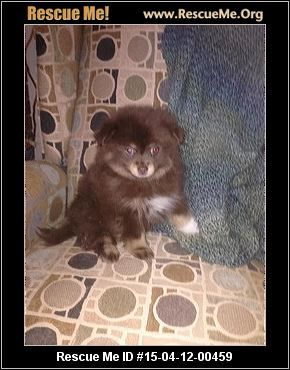 Rescue Me Id 15 04 12 00459 Tucker Pompadore Male Pomeranian Age Puppy Compatibility Good W Most Dogs Go Dog Adoption Pomeranian Rescue Free Puppies