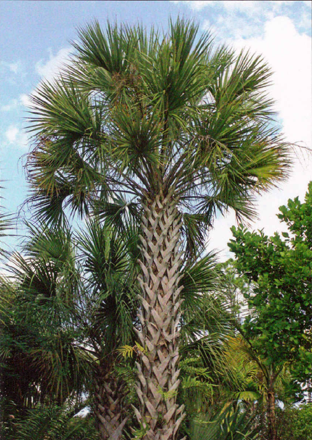 """The leaf bases on the trunk called """"boots"""" provide a place for epiphytes like the native golden polypody fern to grow. AKA Cabbage palm (Sabal palmetto) or cabbage palmetto, this easily recognizable tree is native to the region and an important resource to other plants and animals. This ecologically important palm provides food for bears and deer all over Florida and its flowers entice important pollinators like birds and butterflies locally."""