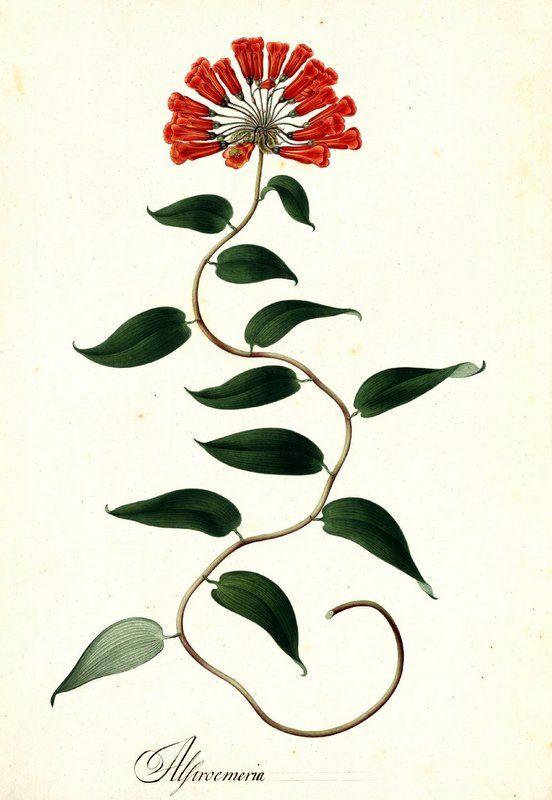 Alstroemeria. Proyecto de digitalización de los dibujos de la Real Expedición Botánica del Nuevo Reino de Granada (1783-1816), dirigida por José Celestino Mutis: www.rjb.csic.es/icones/mutis. Real Jardín Botánico-CSIC.