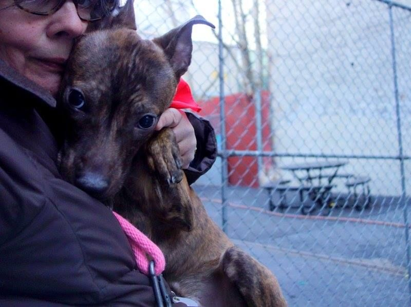 URGENT - Manhattan Center    LEE JONES a/k/a FLIGHT - A0992031   MALE, BR BRINDLE / BROWN, PIT BULL MIX, 11 mos  STRAY - STRAY WAIT, NO HOLD Reason STRAY   Intake condition NONE Intake Date 02/20/2014, From NY 11102, DueOut Date 02/23/2014 Main thread: https://www.facebook.com/photo.php?fbid=763355703677311&set=a.617938651552351.1073741868.152876678058553&type=3&permPage=1