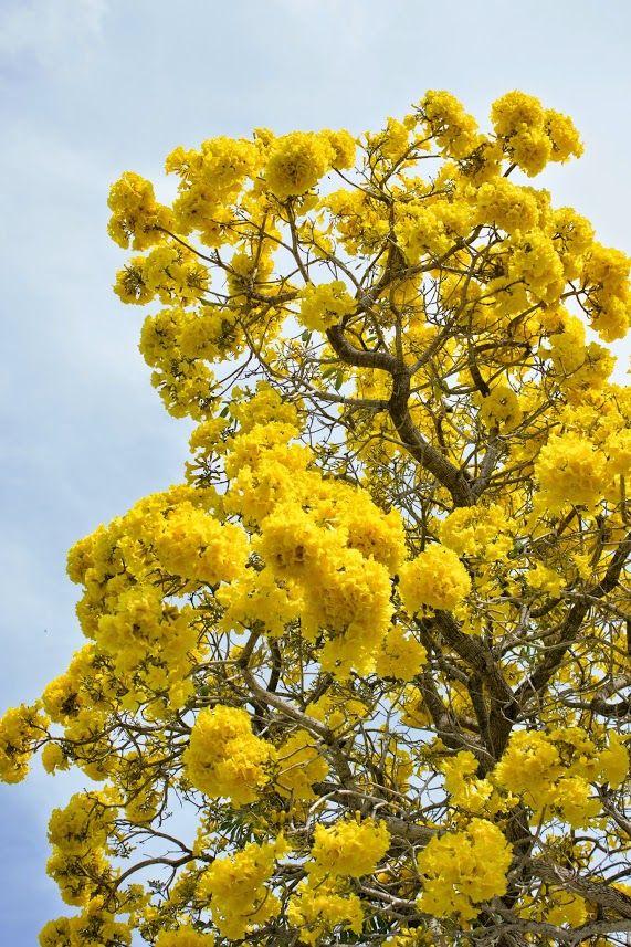 tabebuia tree flowering in south florida