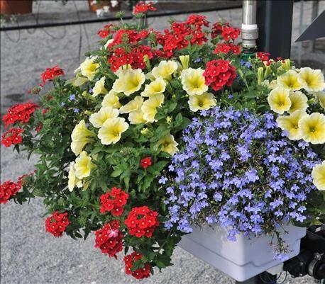 Red Fox Confetti Garden Water Colours Potunia Plus Yellow Petunia