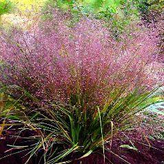 Gramine Eragrostis HORTIFLOR BUREAU Grser Pinterest