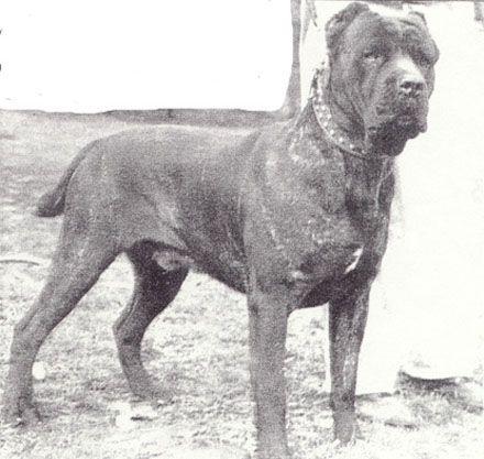 Kevlar Kennels Cane Corso Mastffs Lorain Oh Mike Sottile Dogs Cane Corso Cane Corso Dog Corso Dog