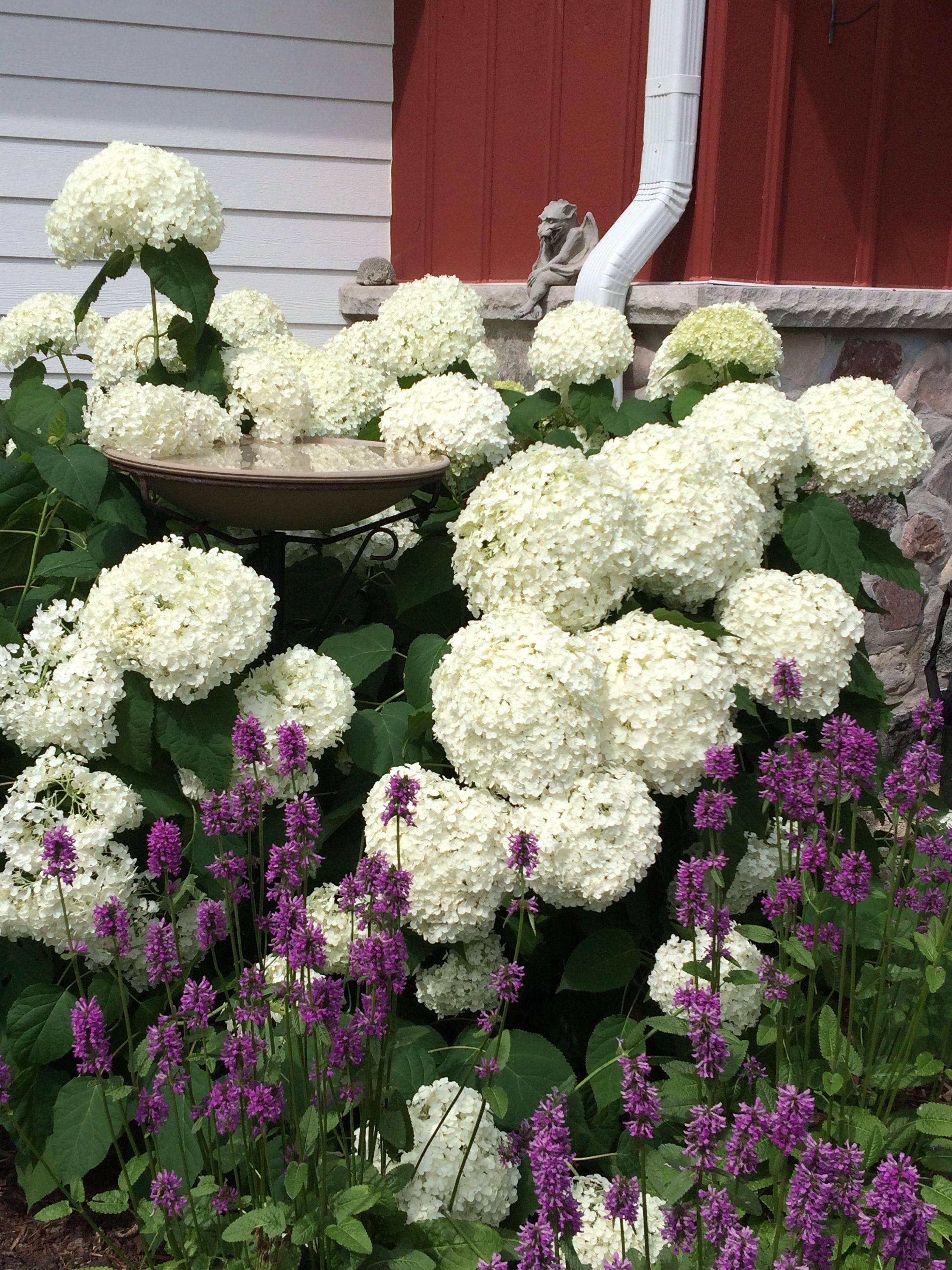 Stachys Hummelo And Annabelle Hydrangea Love Them Together Annabelle Hydrangea Planting Hydrangeas Hydrangea Varieties