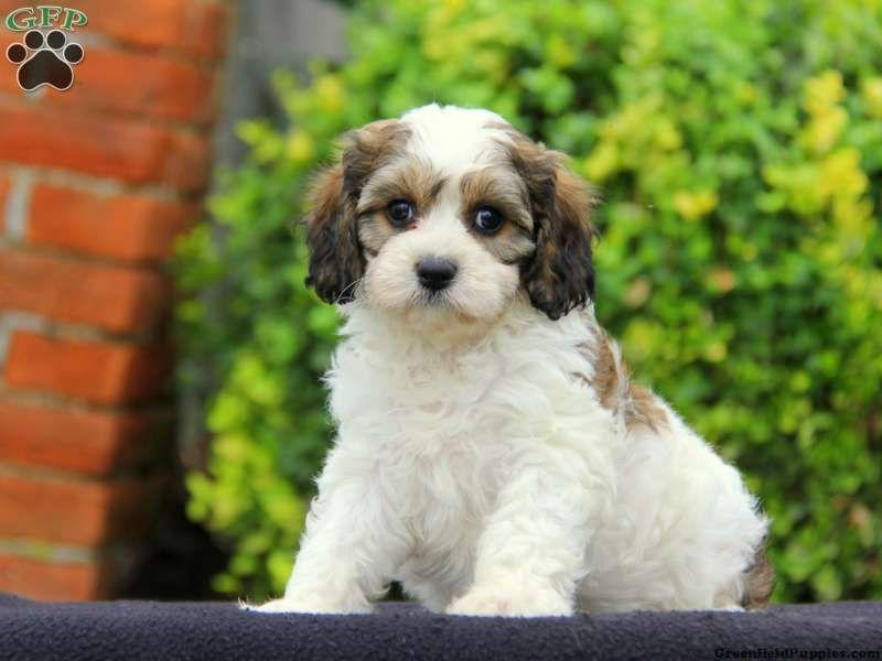 Emmy Cavachon Puppy For Sale In Pennsylvania Cavachon Puppies