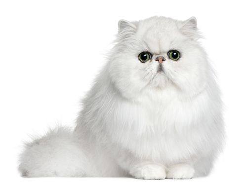 www.petclic.es la mayor tienda online de productos para #mascotas. La mayor biblioteca de contenido y consejos sobre mascotas. 1.000 consejos. 50.000 imágenes. Foto del #gato #persa