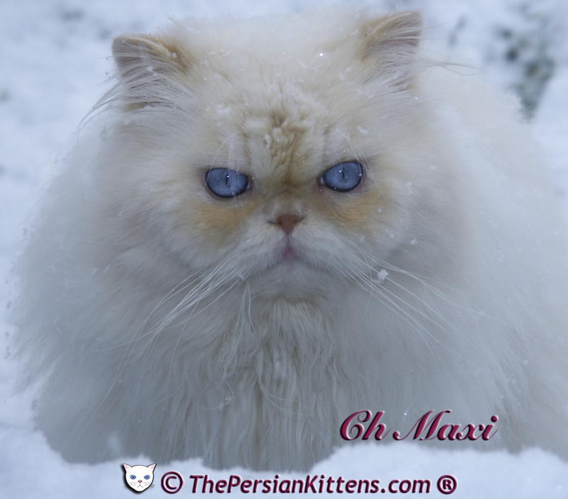 Pictures Persian Cats PERSIAN KITTENS FOR SALE at THE
