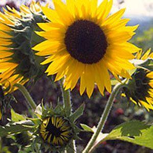 Sunflower From Green Hope Farm Flower Essences Flower Essences Hope Flower Flower Essences Remedies