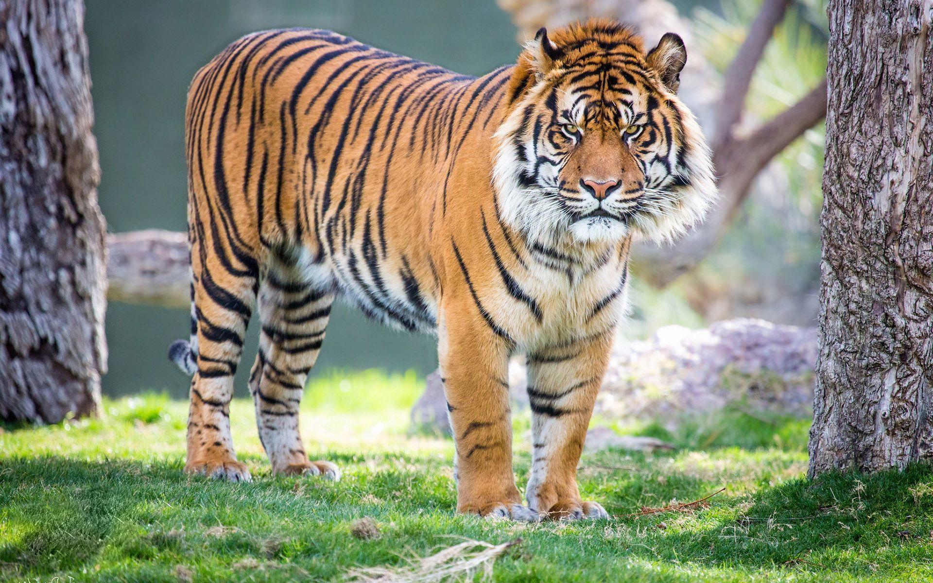 صور حيوانات نتائج بحث صور ياهو Wild Animals Pictures Tiger Pictures Tiger Wallpaper