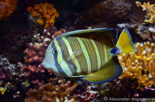 Sailfin Tang A Reef Tang Throughout The Indian Ocean And South Pacific Shedd Aquarium Chicago Illinois Shedd Aquarium Indian Ocean Fish Pet
