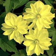 Clematis morning yellow clematis morning yellow cadmy montana care morning yellow is a deciduous climbing shrub with divided dark green leaves in spring it bears semi double pale yellow flowers that fade to white mightylinksfo Image collections