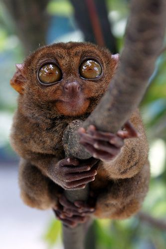 ~~ Philippine Tarsier by α is for äpΩL † ~ tarsiers are related to other primates~~