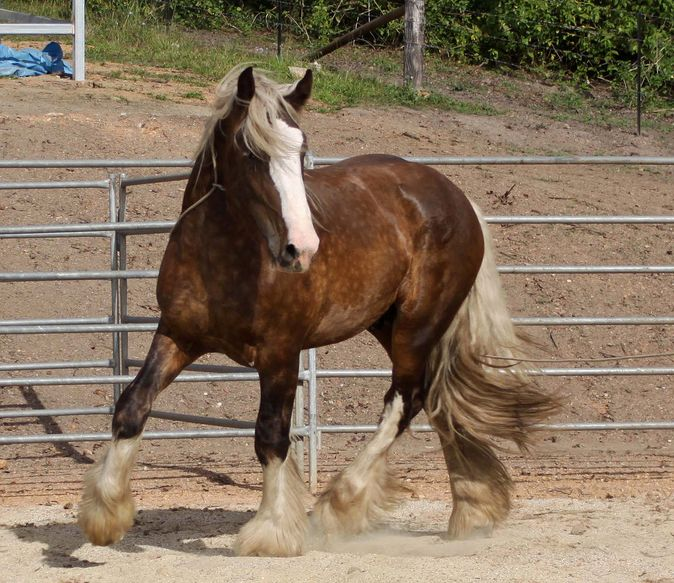 bay horse coloring pages - photo#46