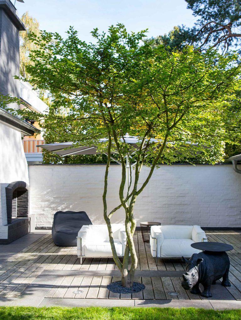 japanische Acer palmatum #contemporarygardendesign