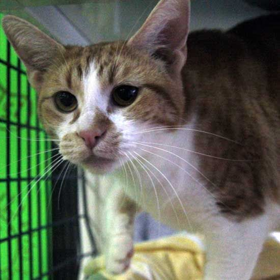Sparkle Has An Inquisitive Face She Loves Exploring Adopt This One Year Old Tabby Cat In Sandiego Serious Cat Pet Adoption Animals