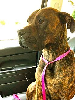 Media, PA Boxer/Mastiff Mix. Meet LIBERTY, a dog for