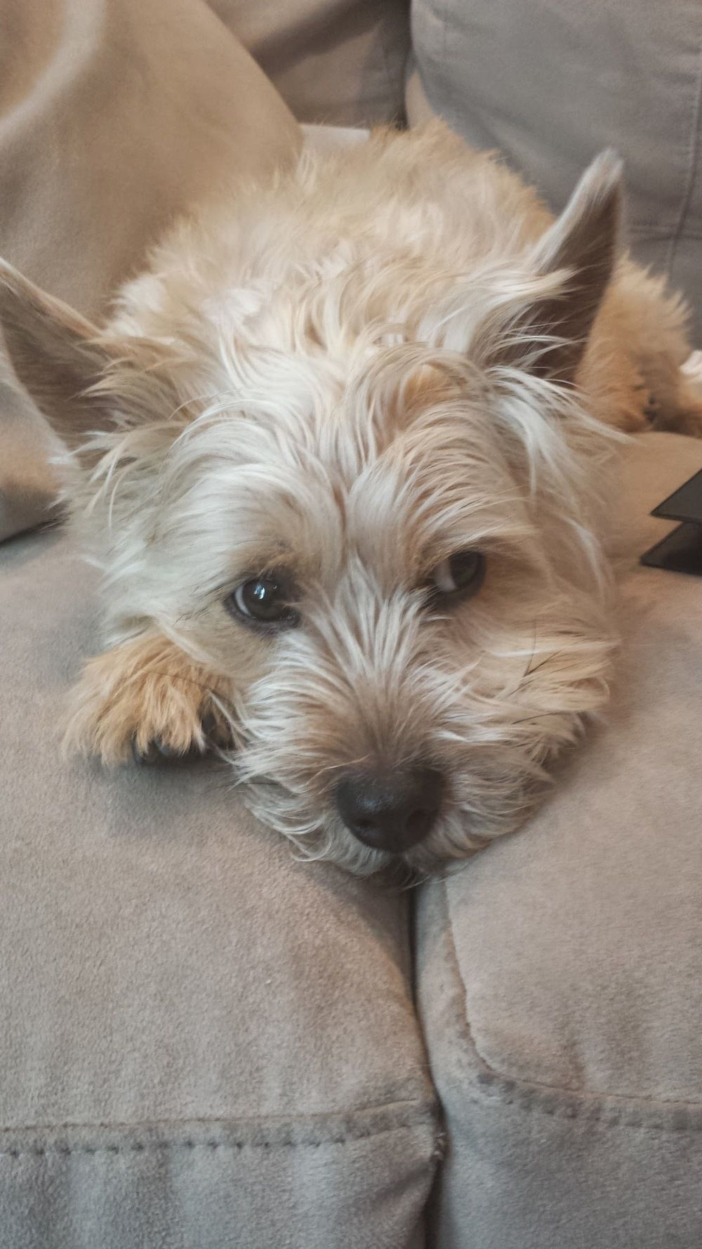 Healthy Pb J Recipe Norwich Terrier Cairn Terrier Terrier