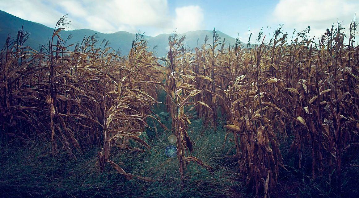 Cosecha de maíz, isla de Margarita