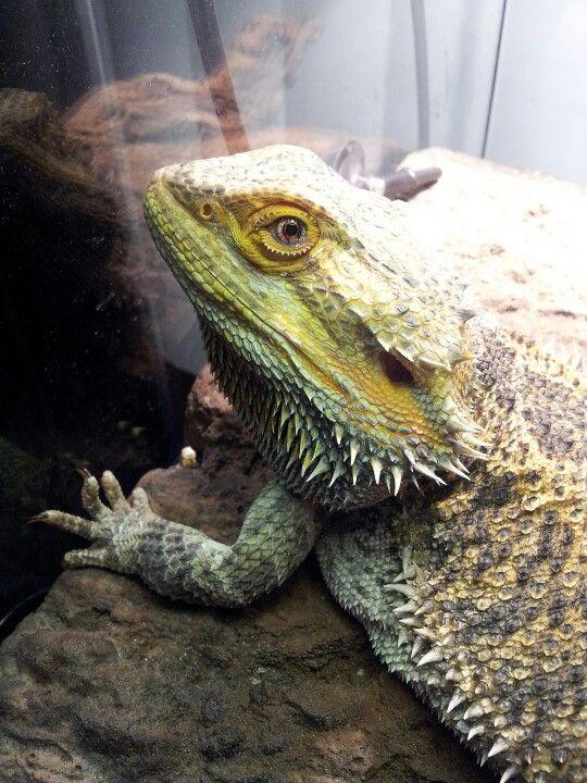 My bearded dragon!   Bearded Dragon Humor   Pinterest