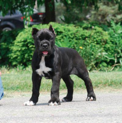 Notable Dogs Cane Corso Corso Dog Cane Corso Dog