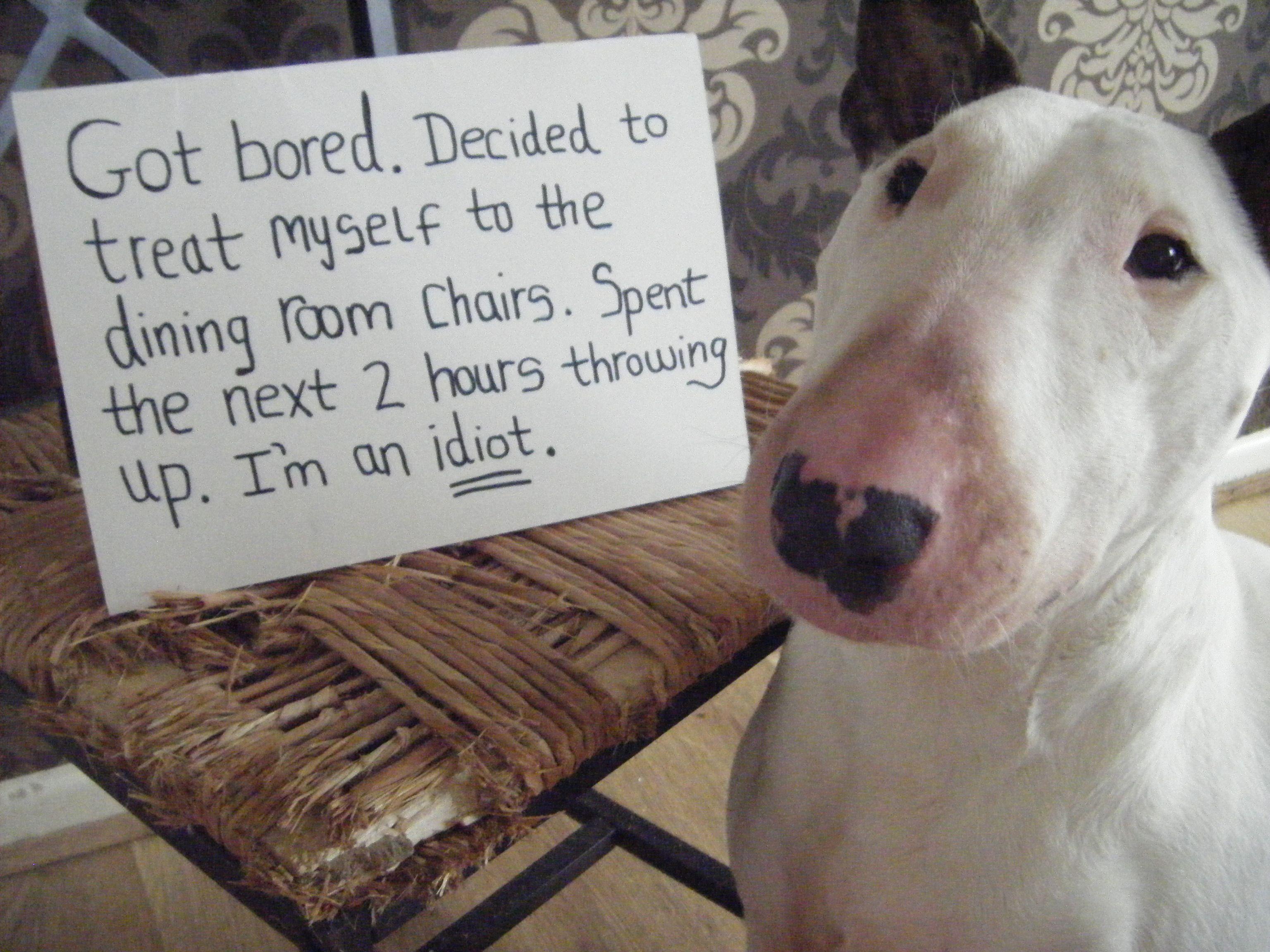 Have A Seat Bull Terrier Funny English Bull Terriers Mini Bull