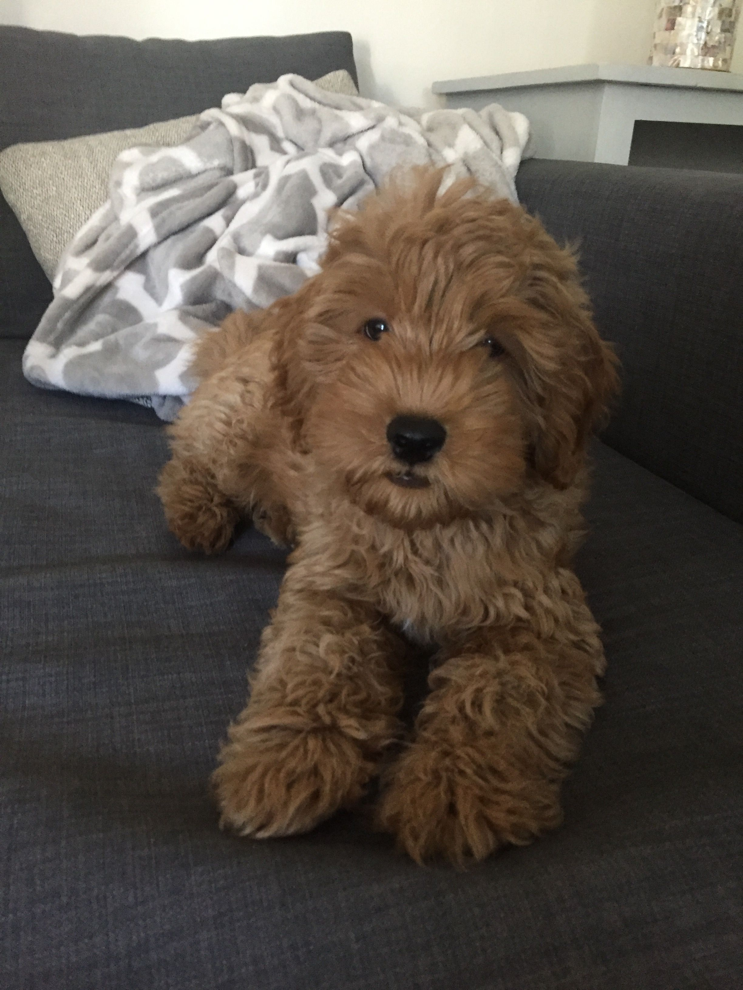 Harrison F1b Mini Goldendoodle Goldendoodle Cute Baby Animals