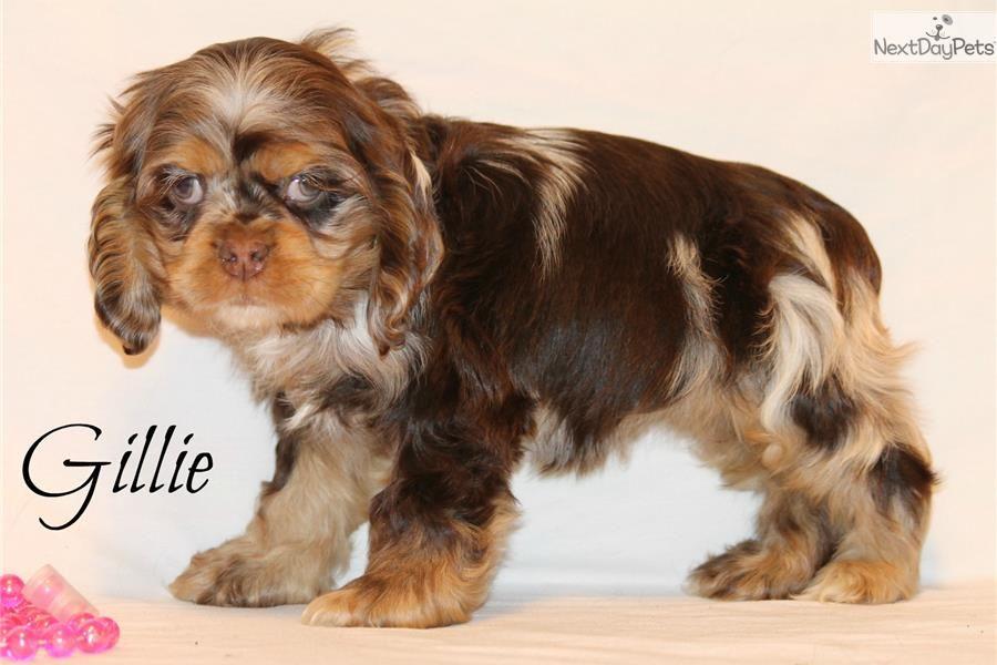 Cocker Spaniel puppy for sale near Dallas / Fort Worth