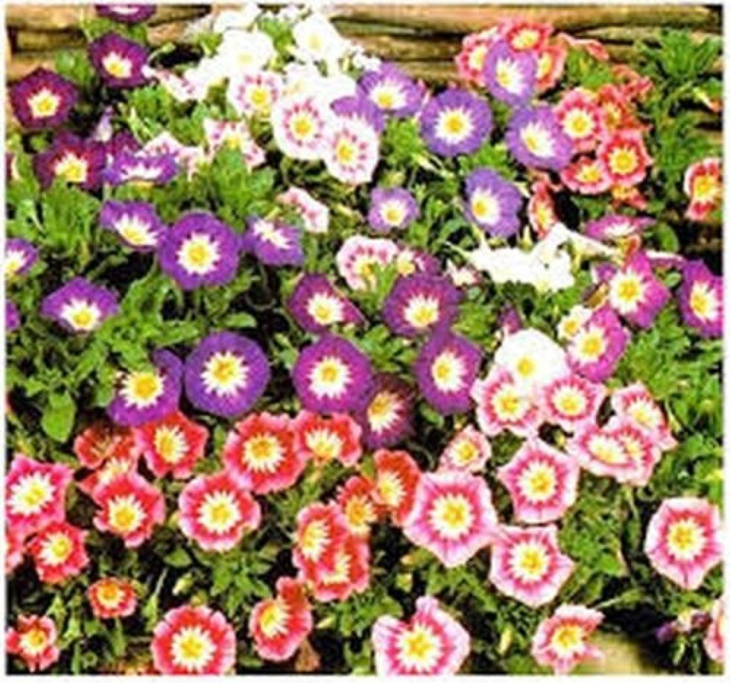 Convolvulus Tricolor Minor Morning Glory Ensign Mix 50 seeds
