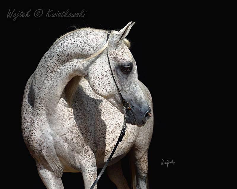 TA Alette (Travis MSC X Ala by Alegro) 2005 bred by Toshkara Arabians, C.D.Reed owned by Morgan Moore, Dallas, TX