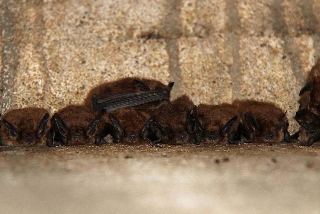 How to safely remove bats from your home (With images) Bat