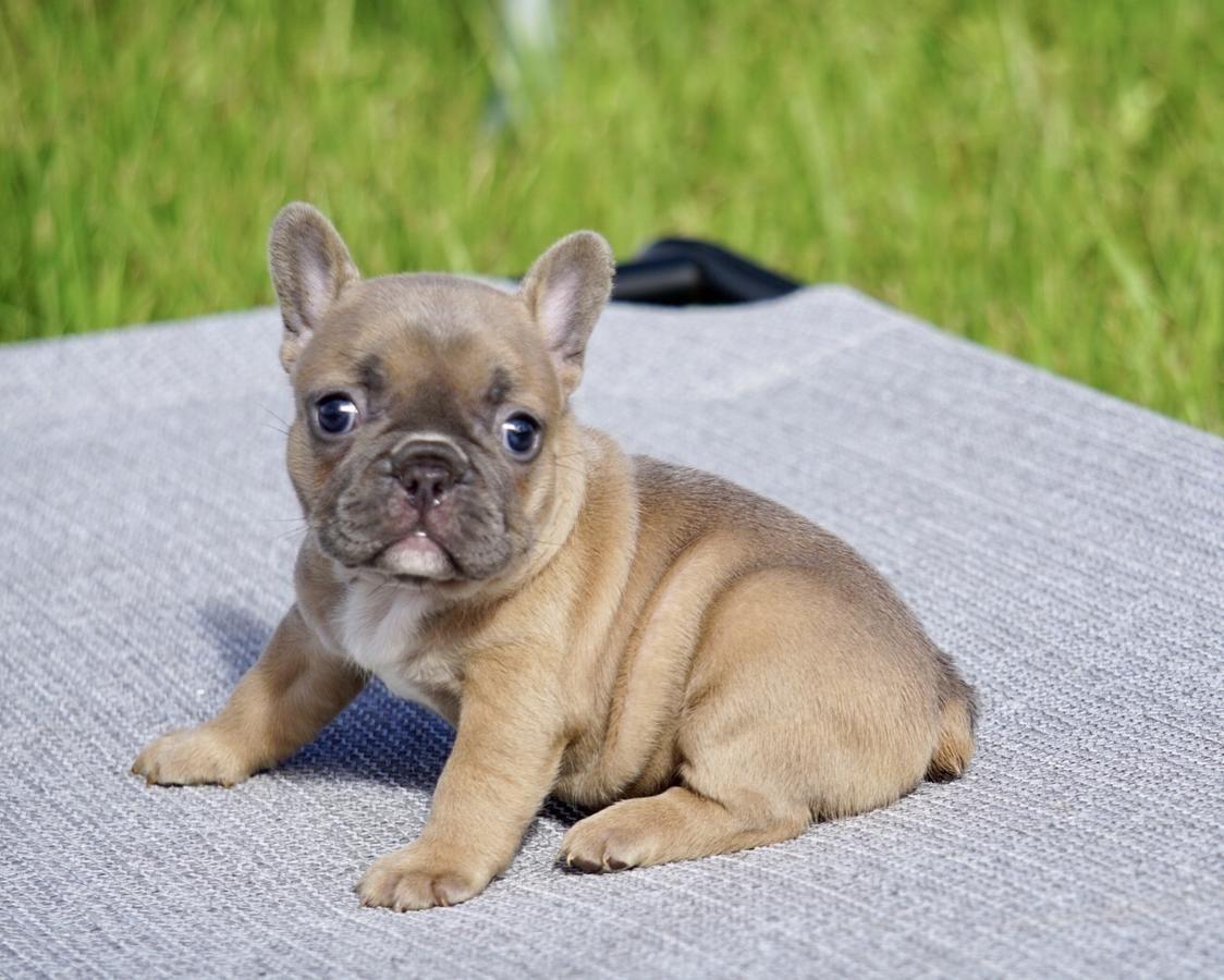 May blue fawn French bulldog puppies, French bulldog