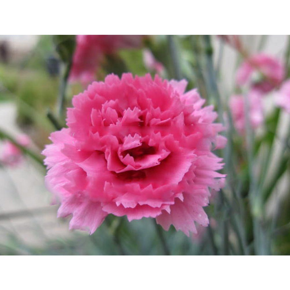 Solution Seeds Farm New Heirloom Carnation Rose Dianthus