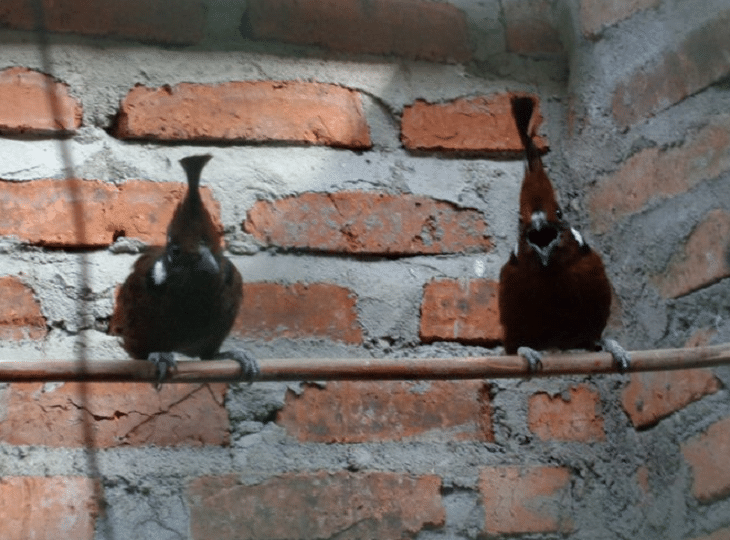 Cara Pengembangbiakan Burung Cililin Dan Cara Perawatannya Burung