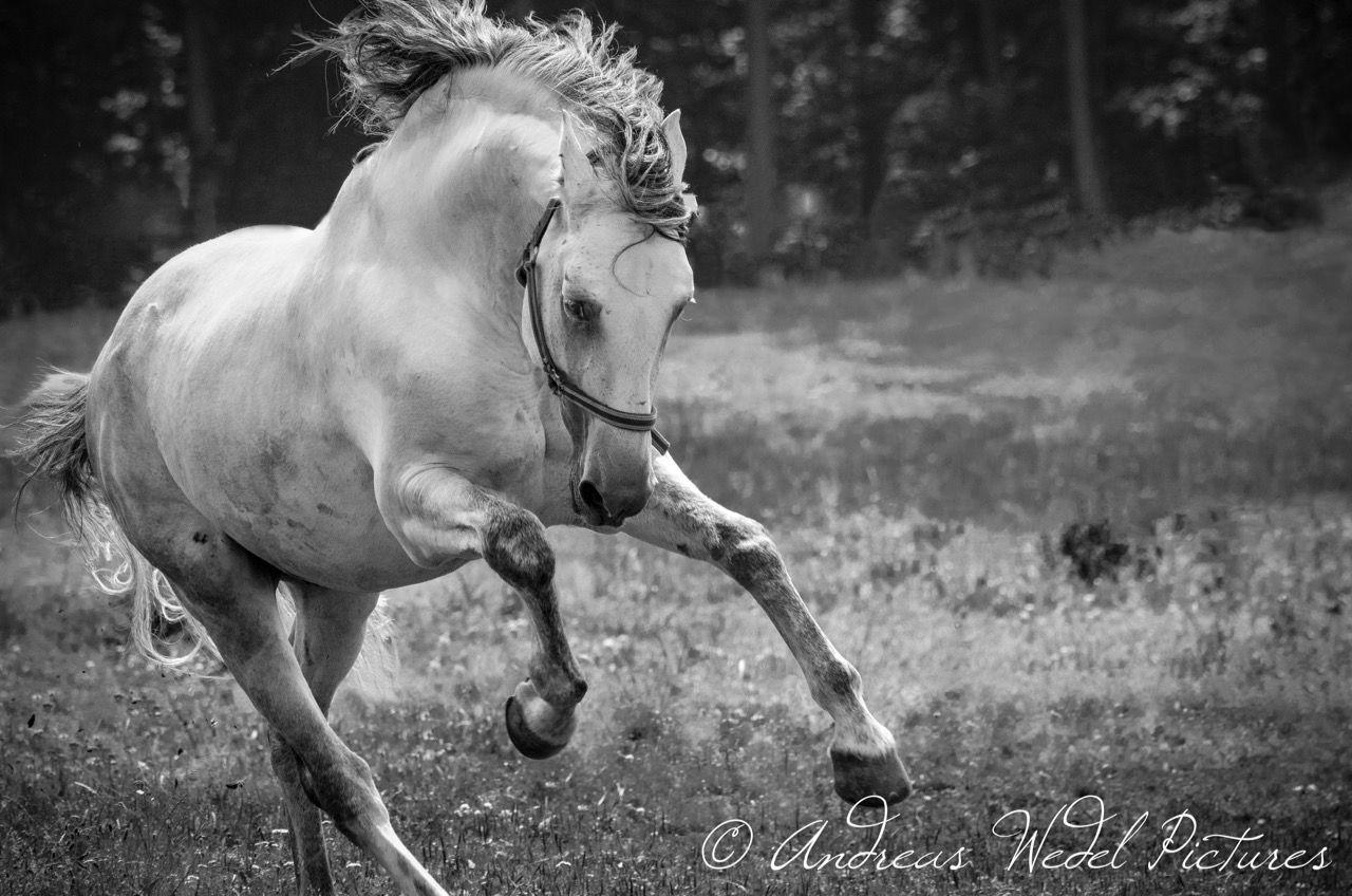 A Portuguese dream...| Pferde | Lusitano | Hengst