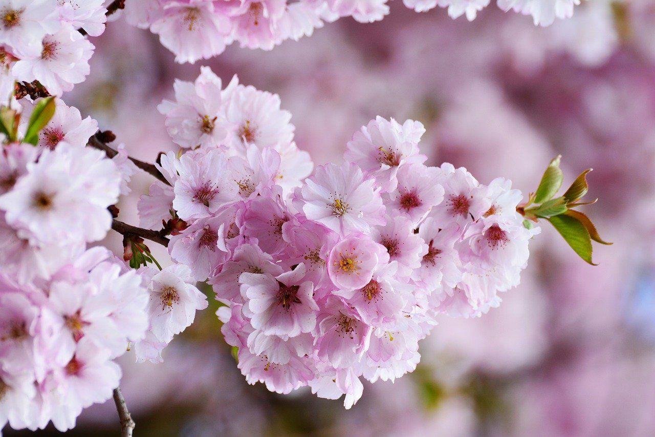 Free Image On Pixabay Cherry Blossoms Japanese Cherry Tree Cherry Blossom Wallpaper Japanese Cherry Blossom
