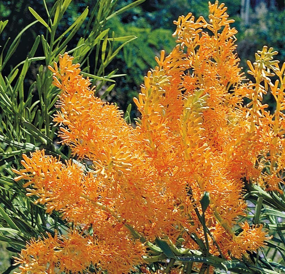 west australian christmas tree wildflower